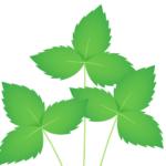 ミツバ:栄養成分を紹介!鎮静作用、不眠に効果あり!
