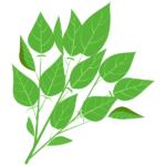 モロヘイヤ:栄養成分を紹介!栄養満点な野菜の王様!